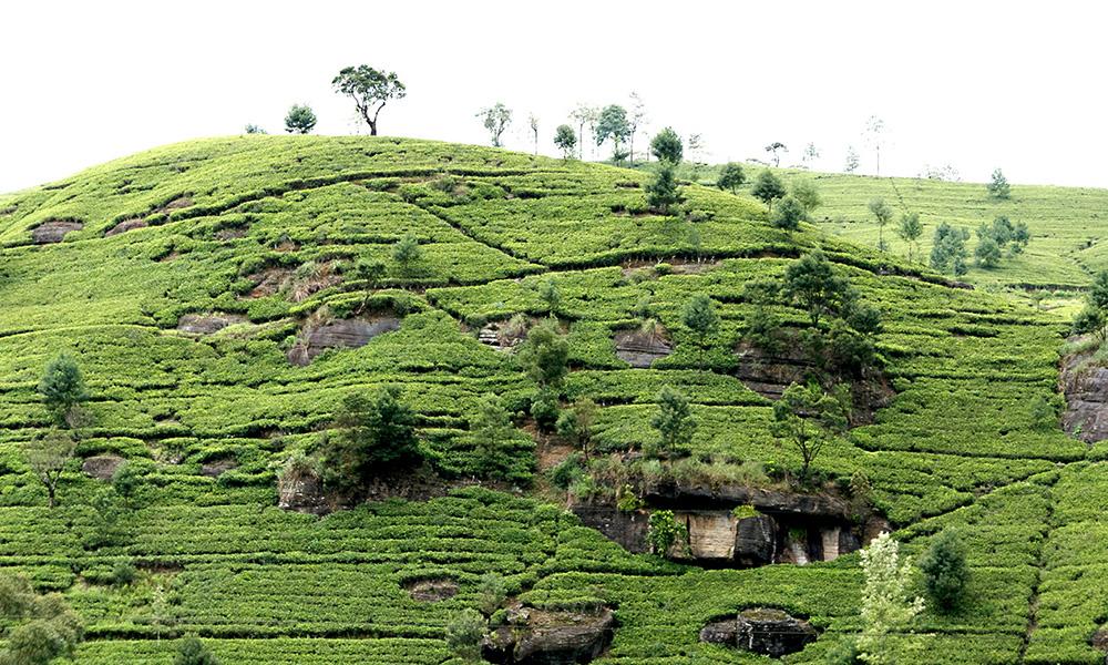 スリランカ 茶畑